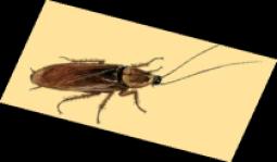 cucarachas en alicante, cucarachas en torrevieja, cucarachas en murcia, cucarachas en toledo, cucarachas en san pedro del pinatar