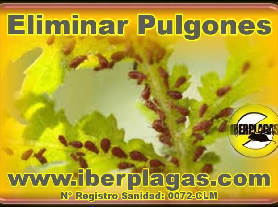 Pulgones