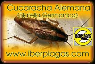 Cucarachas en Alicante