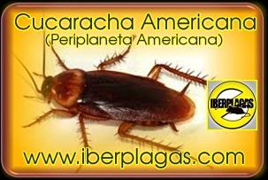Cucarachas en Murcia