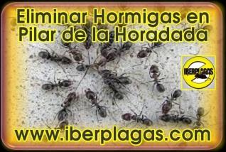 Eliminar hormigas en Pilar de la Horadada
