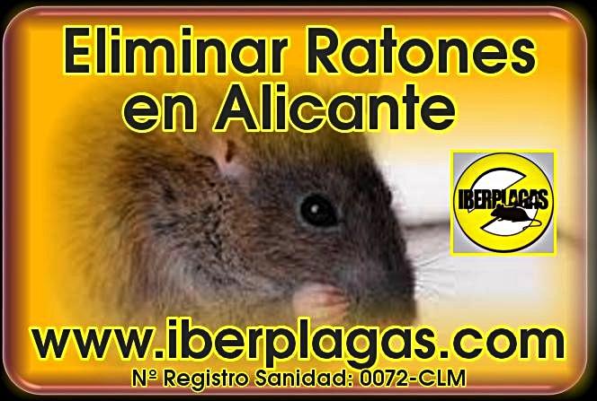 Eliminar ratones en casa cheap las ratas son prolficas y el cortejo y copulacin puede ocurrir - Como eliminar ratones en el hogar ...